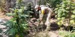 Erradican 16 plantíos de marihuana en Tecate y Ensenada