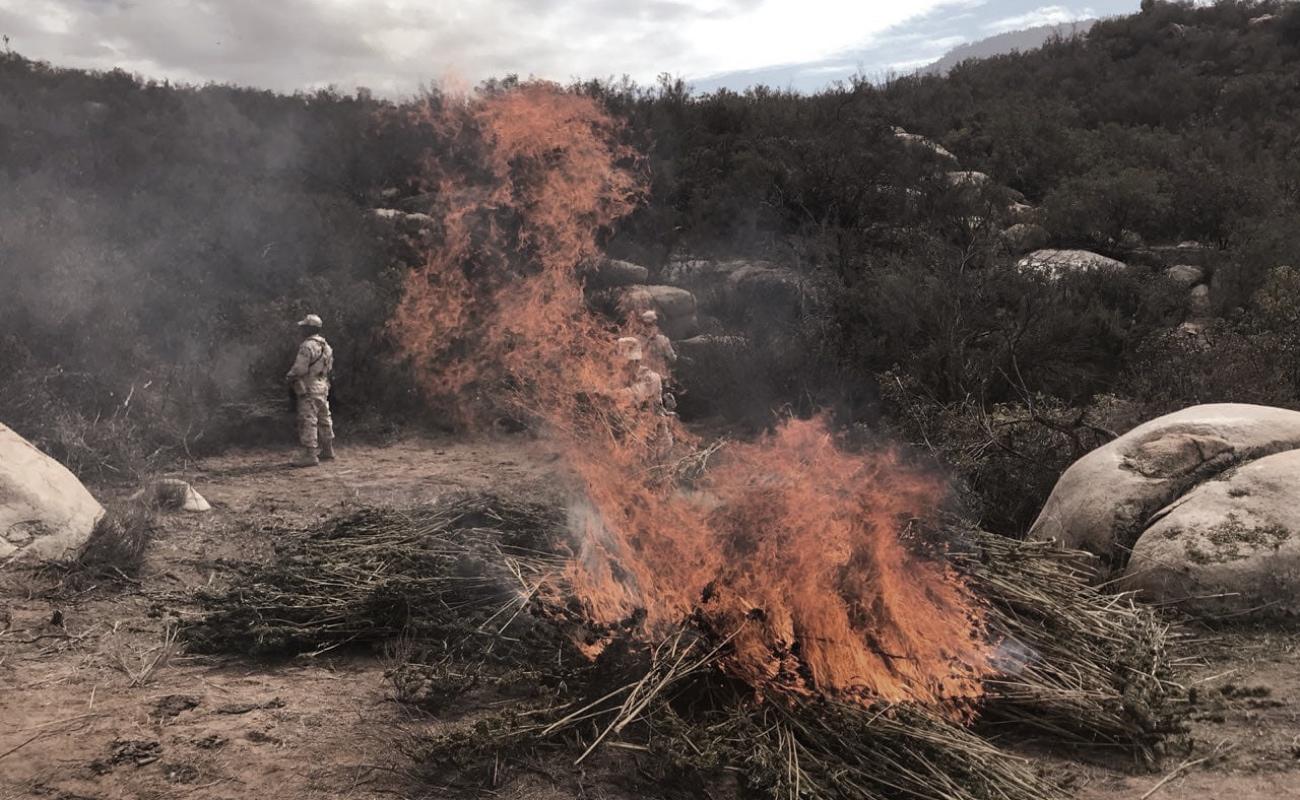 Destruyen plantío de marihuana en San Antonio Necua
