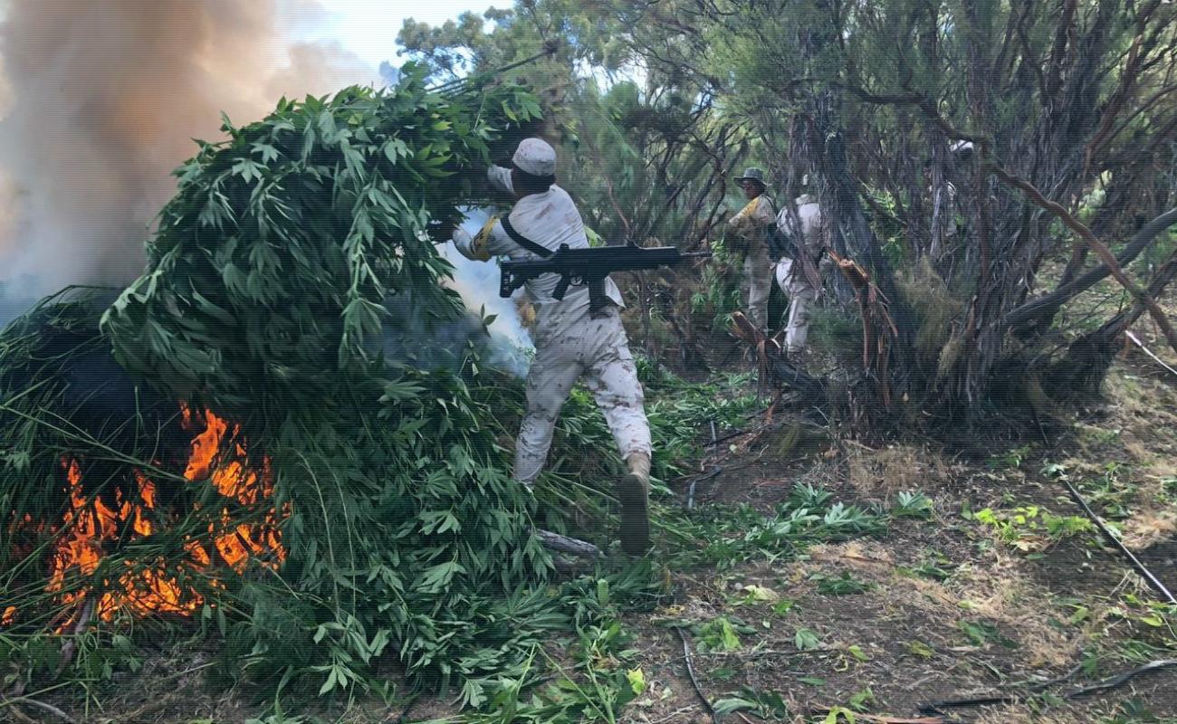 Erradican militares cinco plantíos de marihuana en El Porvenir