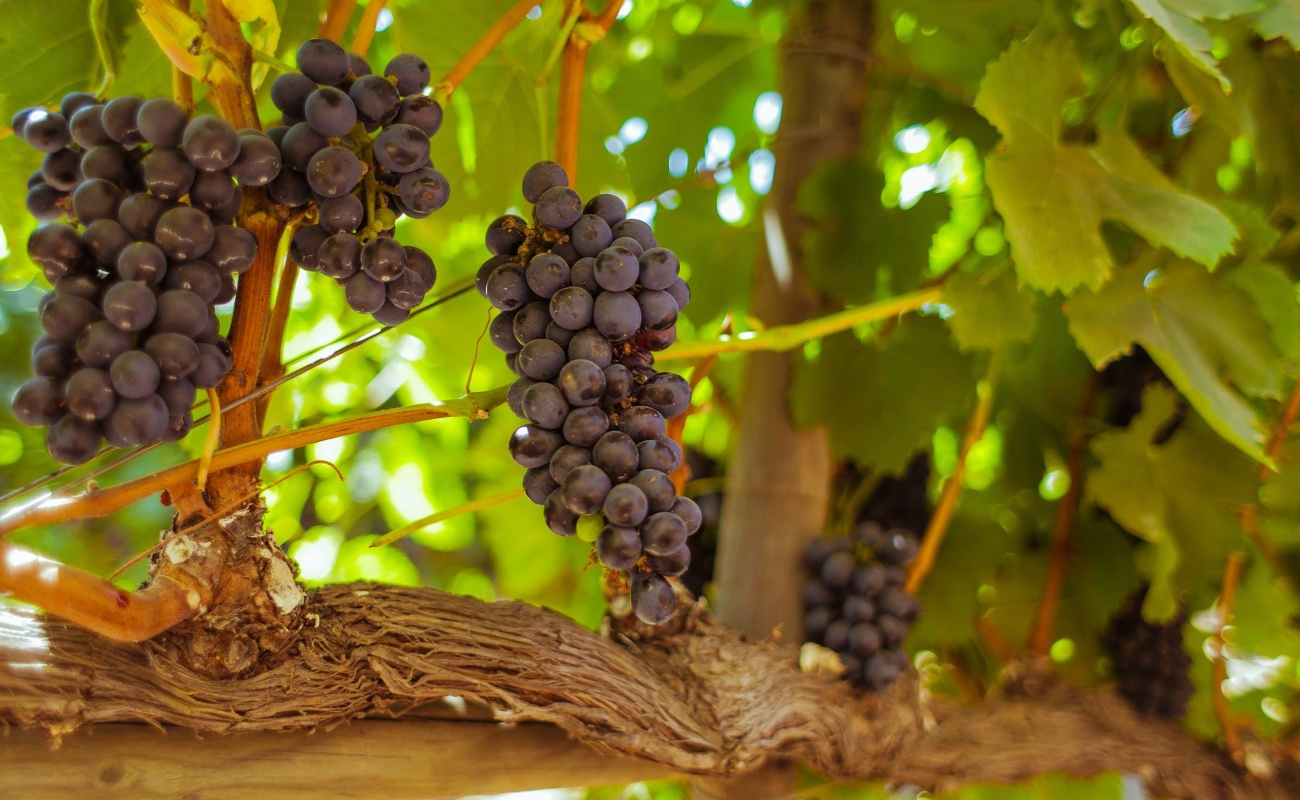 Vigilan el desarrollo sustentable de la región del vino: Mario Escobedo