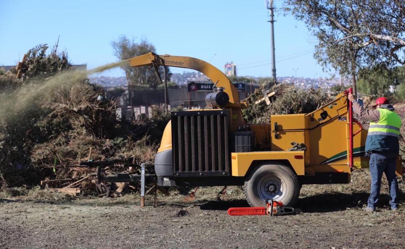 Trituran 6 mil 900 árboles navideños en arranque de campaña de acopio