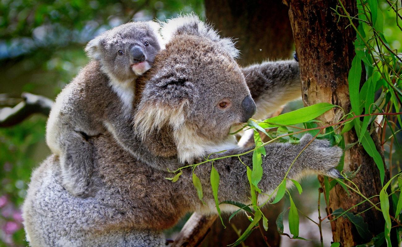 Hábitat de koalas en Australia en llamas, 350 ejemplares muertos