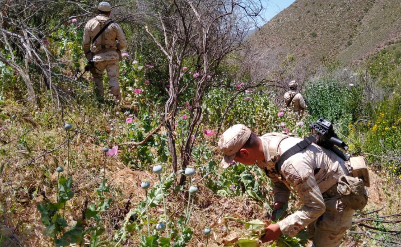 Erradican plantíos de marihuana y amapola en Ensenada