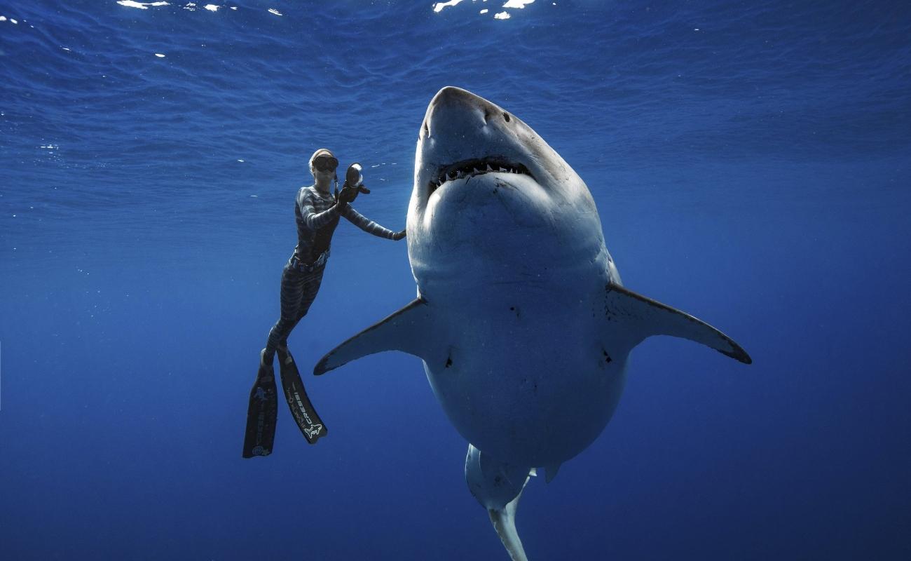 Investigadores se encuentran con un enorme tiburón blanco