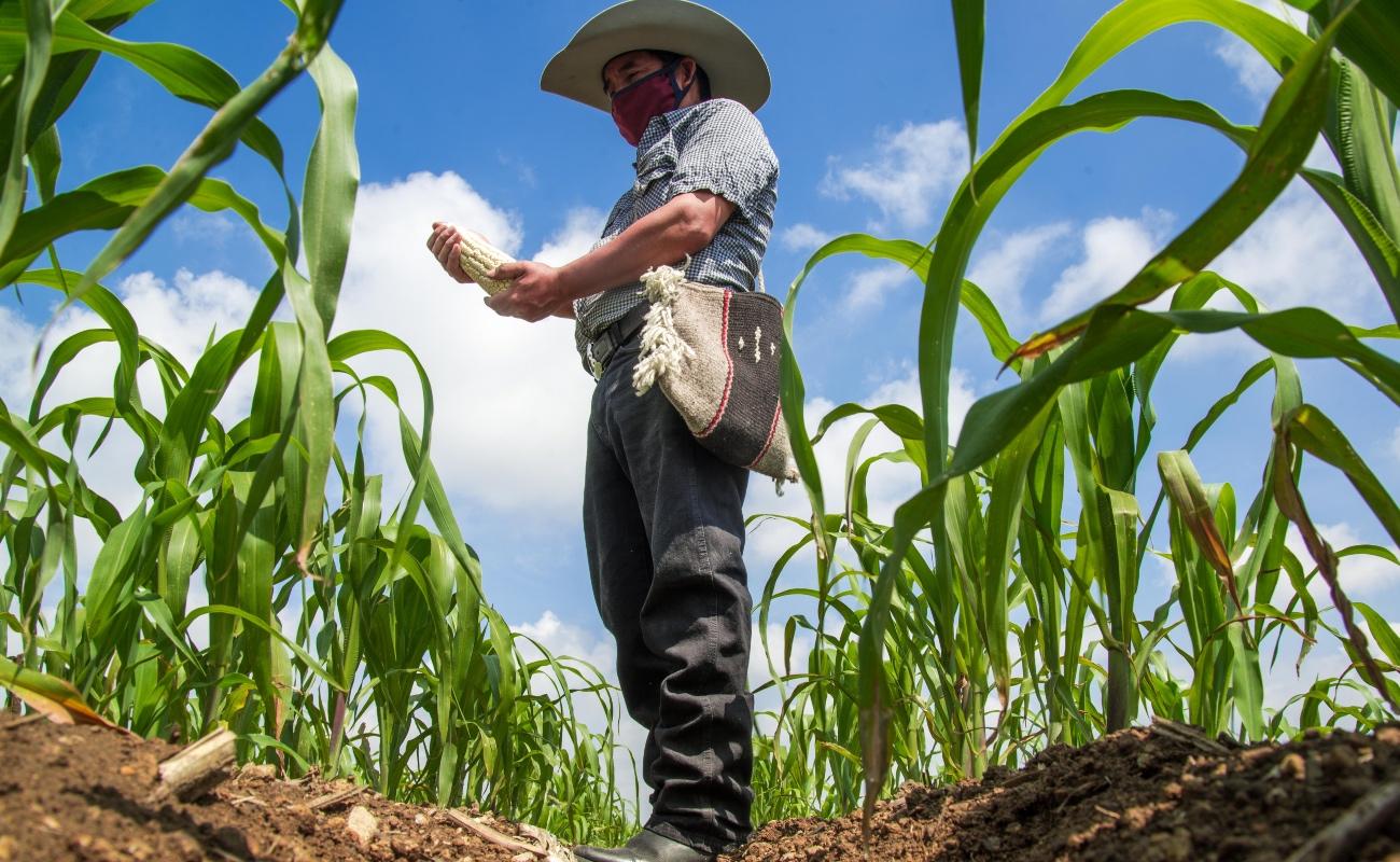 Garantizado el abasto de maíz cacahuazintle, el alma del tradicional pozole mexicano