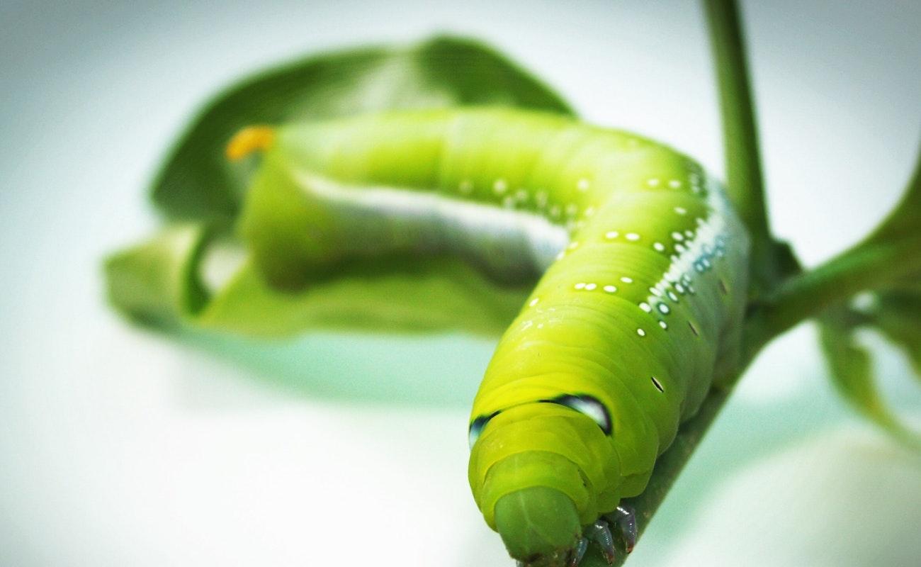 Investigadores descubren en piel de un gusano defensa contra infecciones