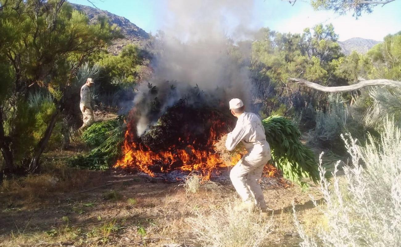 Destruyen plantío de marihuana en Valle de la Trinidad