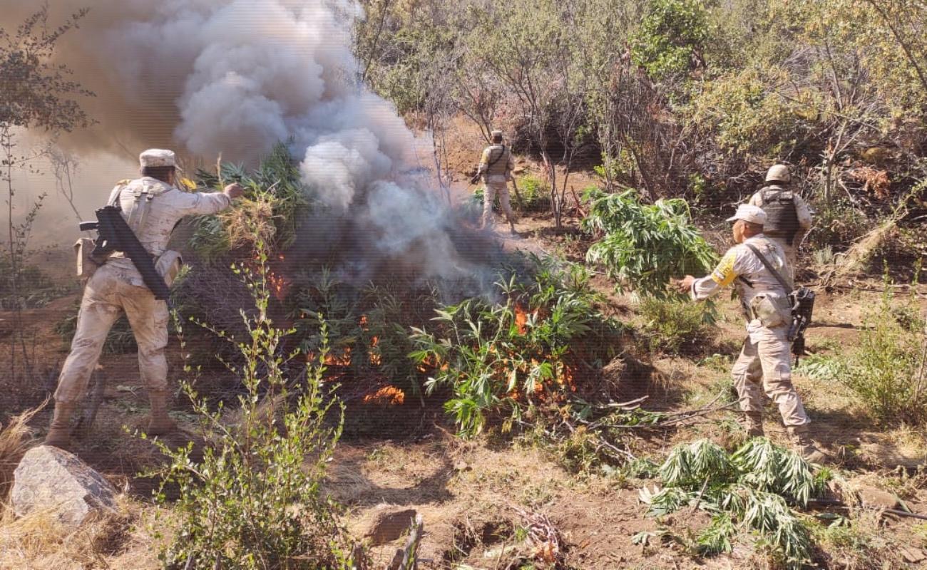 Erradican cinco plantíos de marihuana e inhabilitan pista clandestina en Ensenada