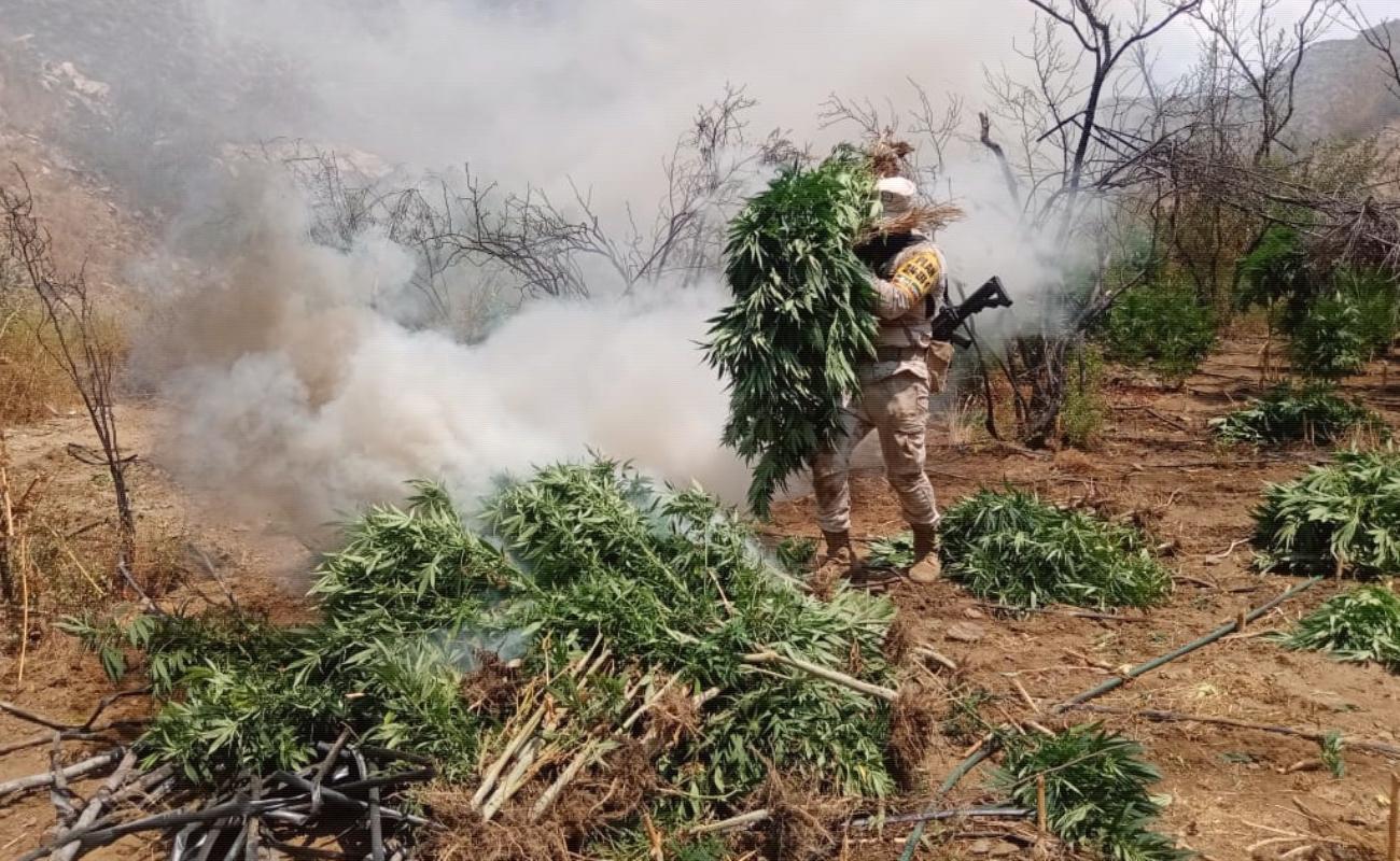 Incineran más de 100 mil plantas de marihuana