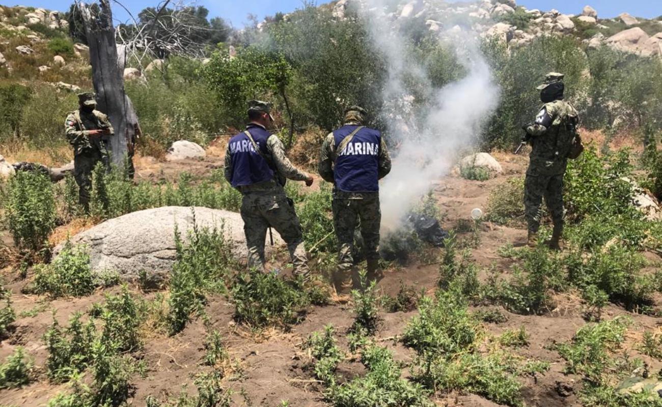 Erradica Marina 5 plantíos de marihuana en Tecate